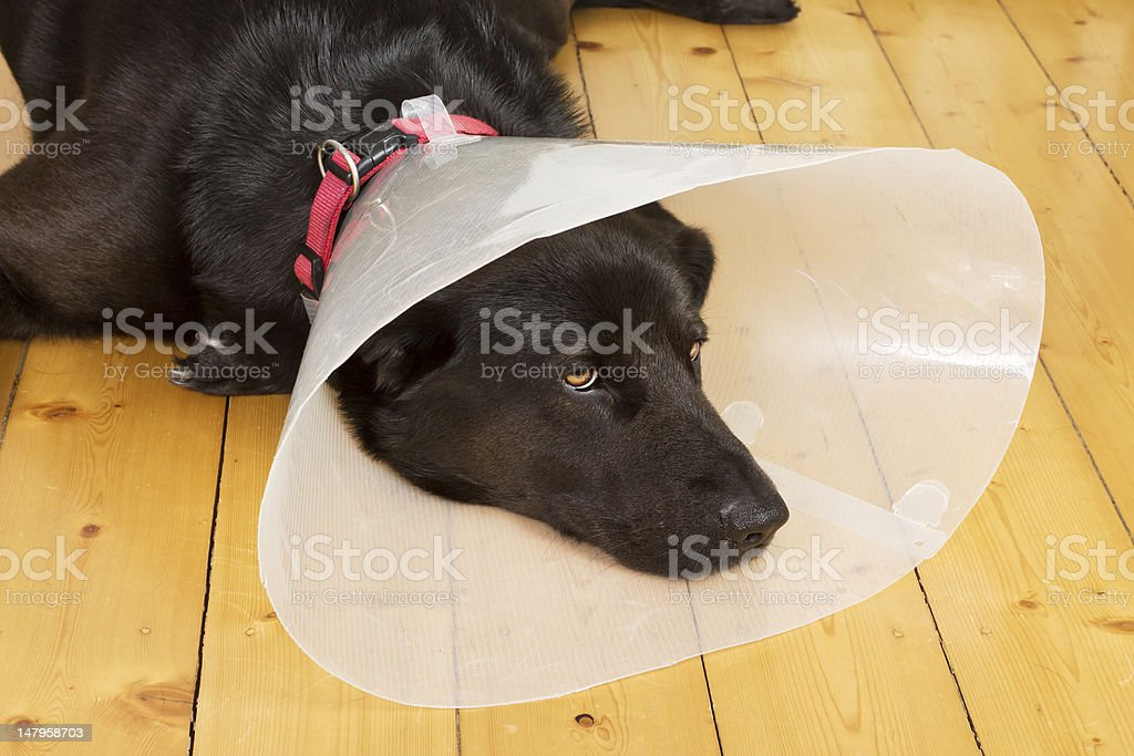 Dog with funnel stock photo