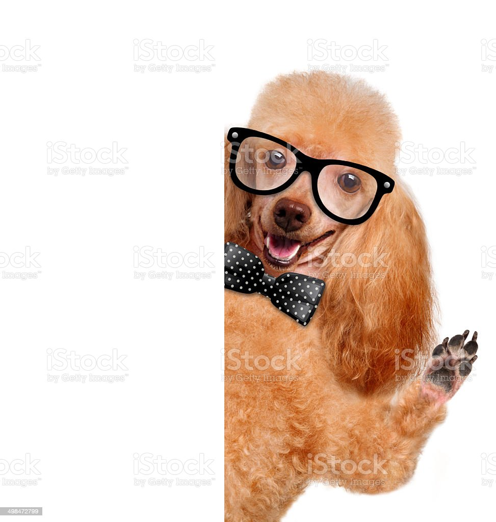 dog with glasses behind a white banner royalty-free stock photo