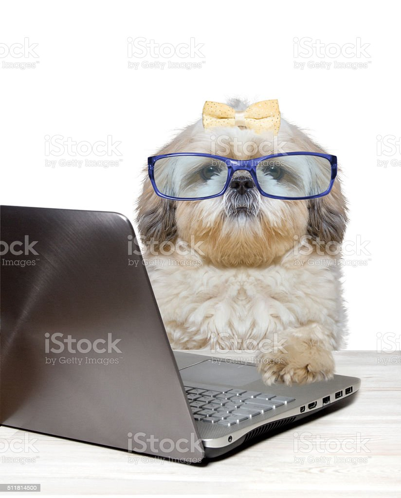 dog with glasses working at a laptop stock photo