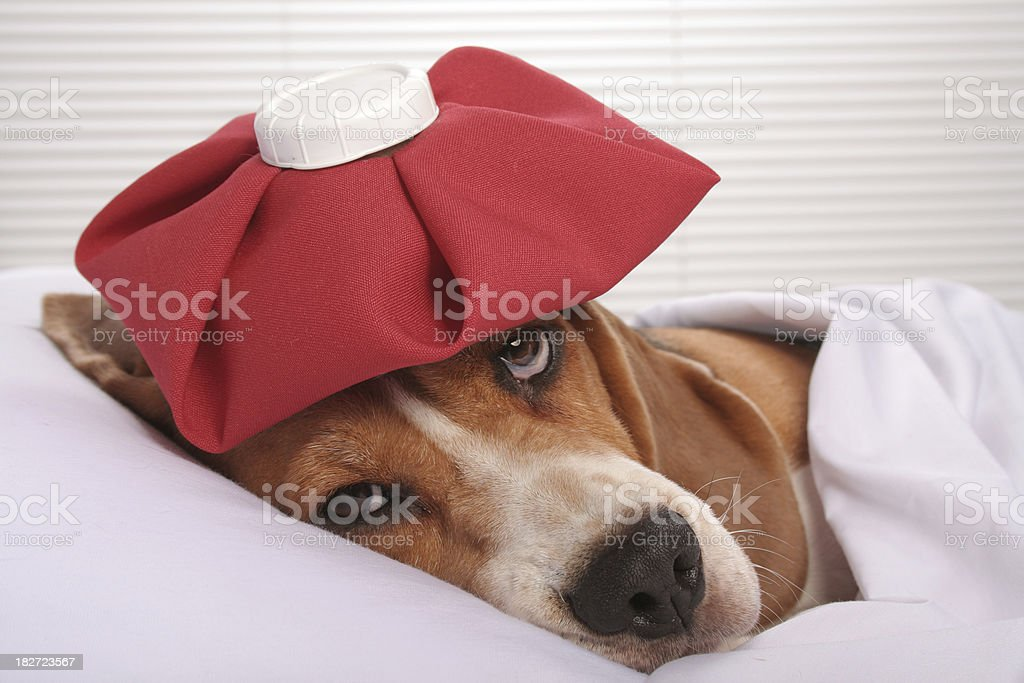 Dog with headache stock photo