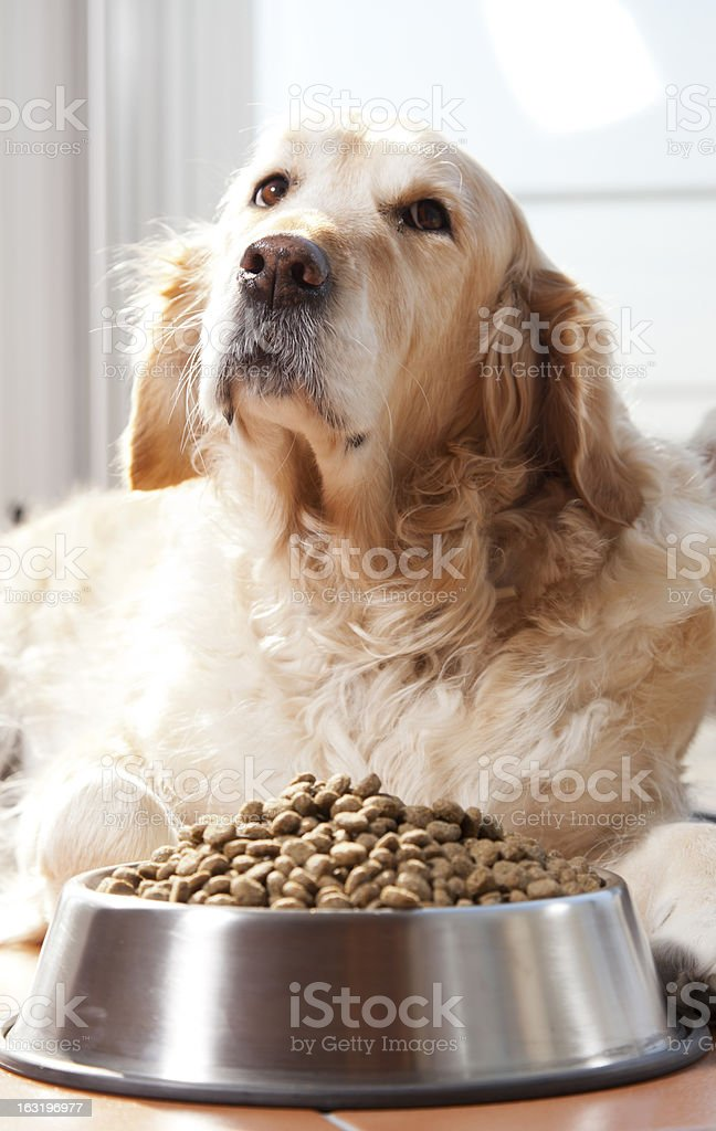 Dog with his food royalty-free stock photo