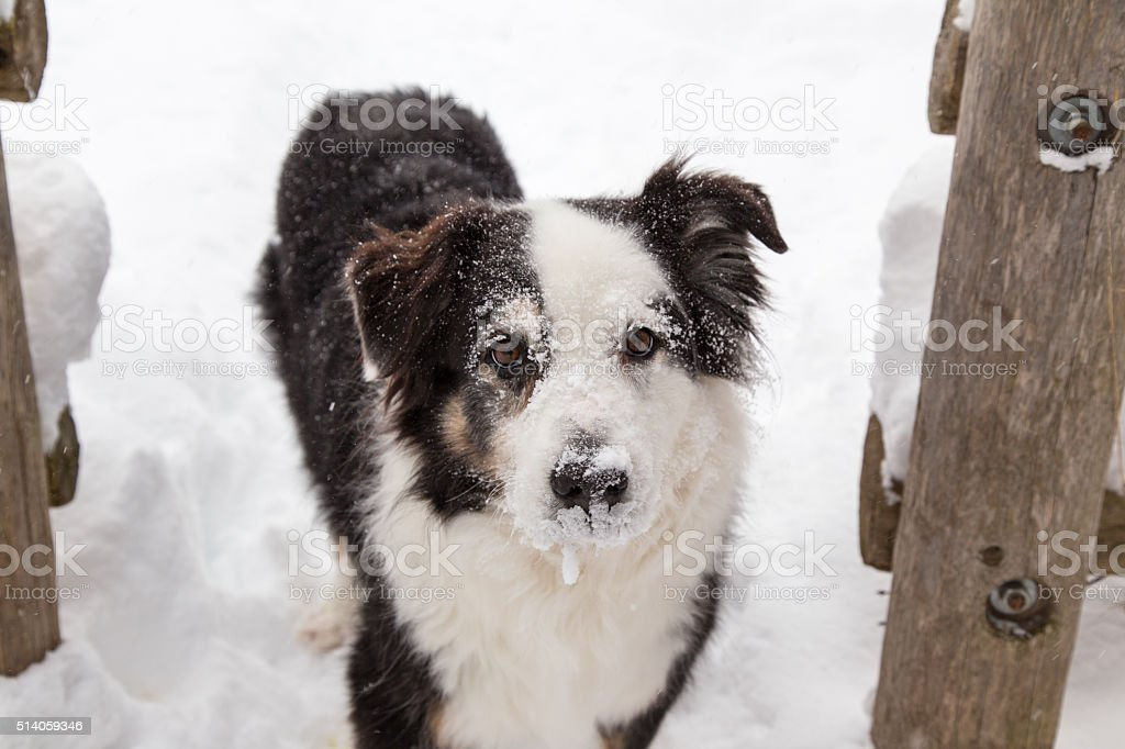Dog with icy face stock photo