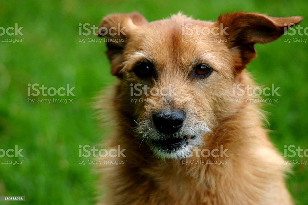 Dog with intent stare royalty-free stock photo