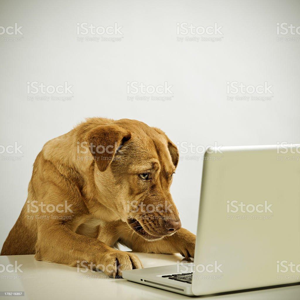 Dog with laptop stock photo