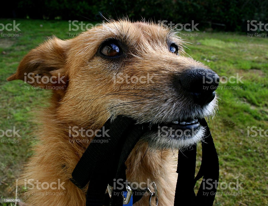 Dog with lead royalty-free stock photo