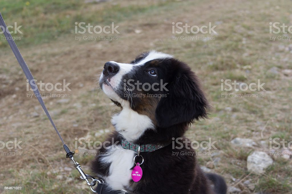 Dog with leash and pink collar looking at his owner stock photo