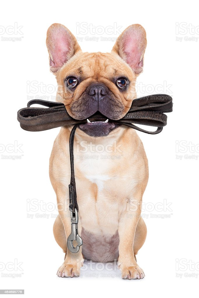 Dog with leash in mouth ready to go for a walk stock photo