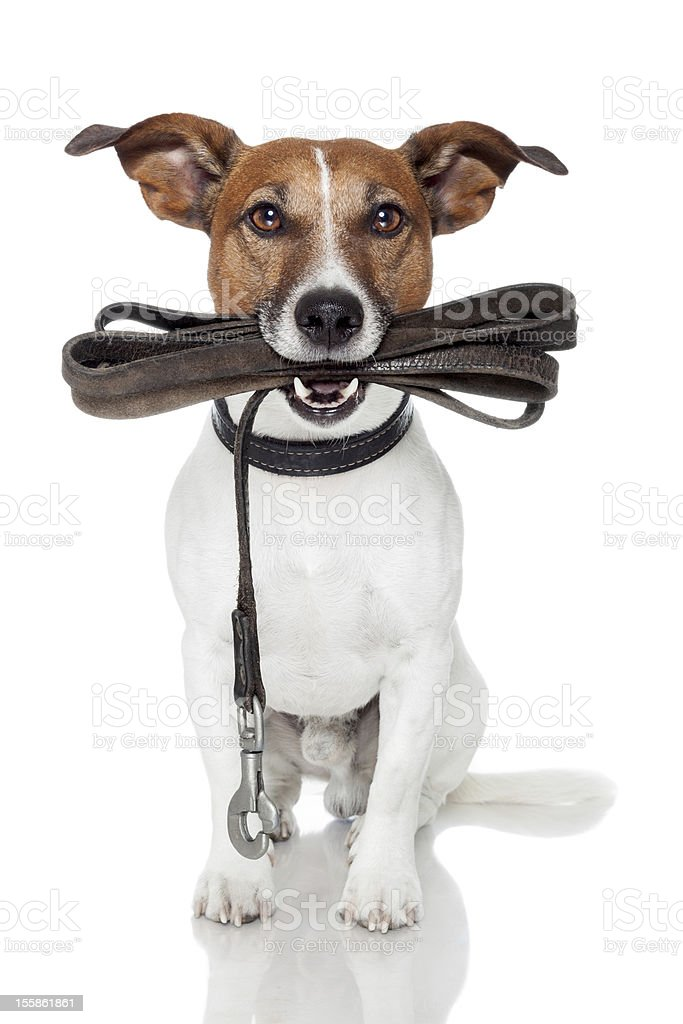 dog with leather leash stock photo