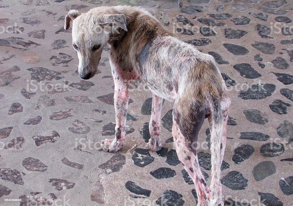 Dog with mange stock photo