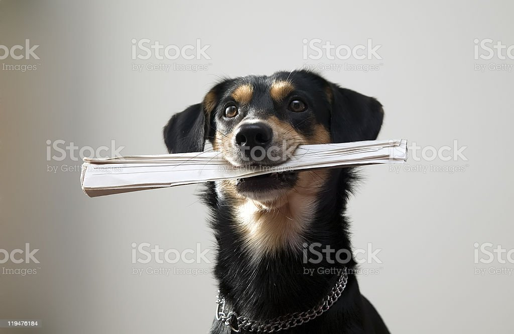 Dog with metal chain is holding newspaper royalty-free stock photo