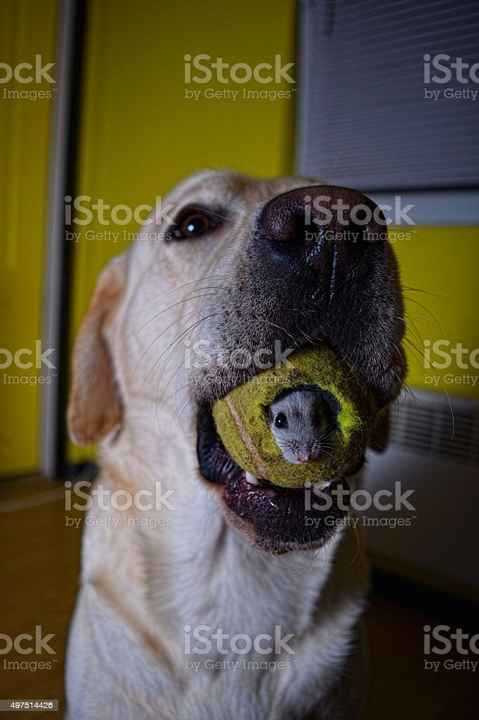 Dog With Mouse In Mouth stock photo