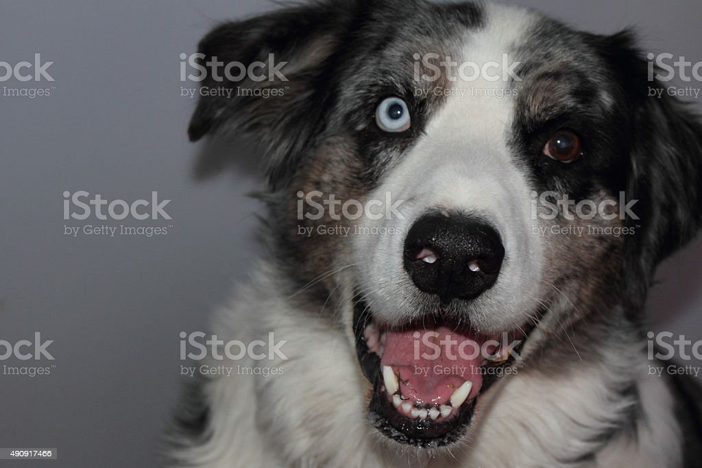 Dog with mouth open stock photo