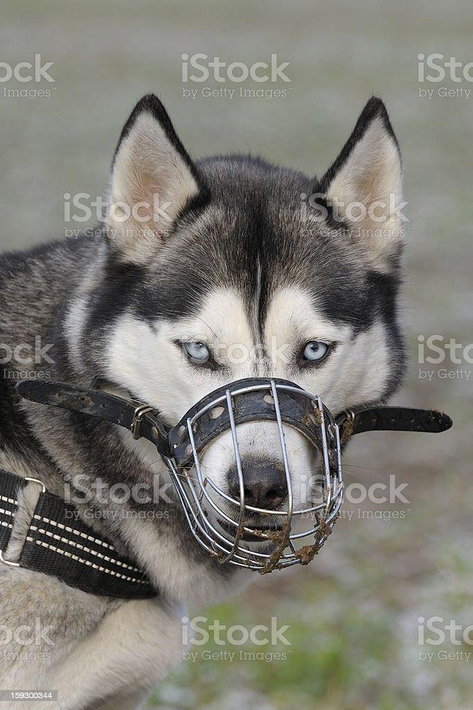 Dog with muzzle royalty-free stock photo