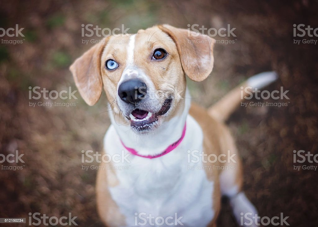 Dog with One Blue Eye, One Brown Eye stock photo