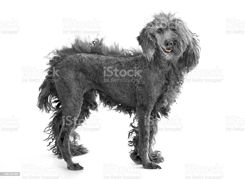 Dog with Only Half of its Hair Cut and Shaved stock photo