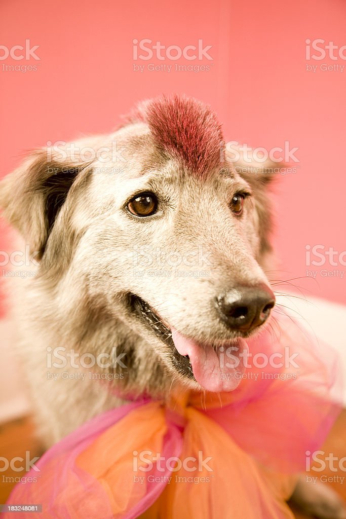 Dog with pink mohawk stock photo
