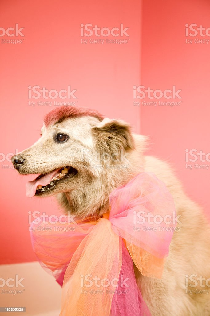 Dog with pink mohawk royalty-free stock photo