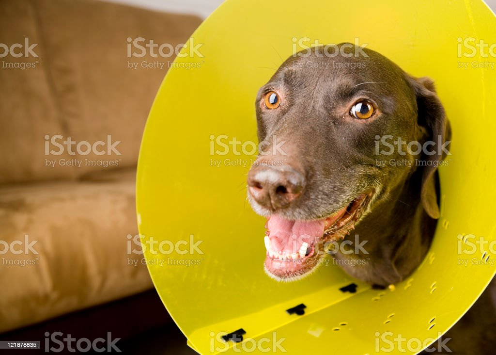 Dog with Protective Collar stock photo
