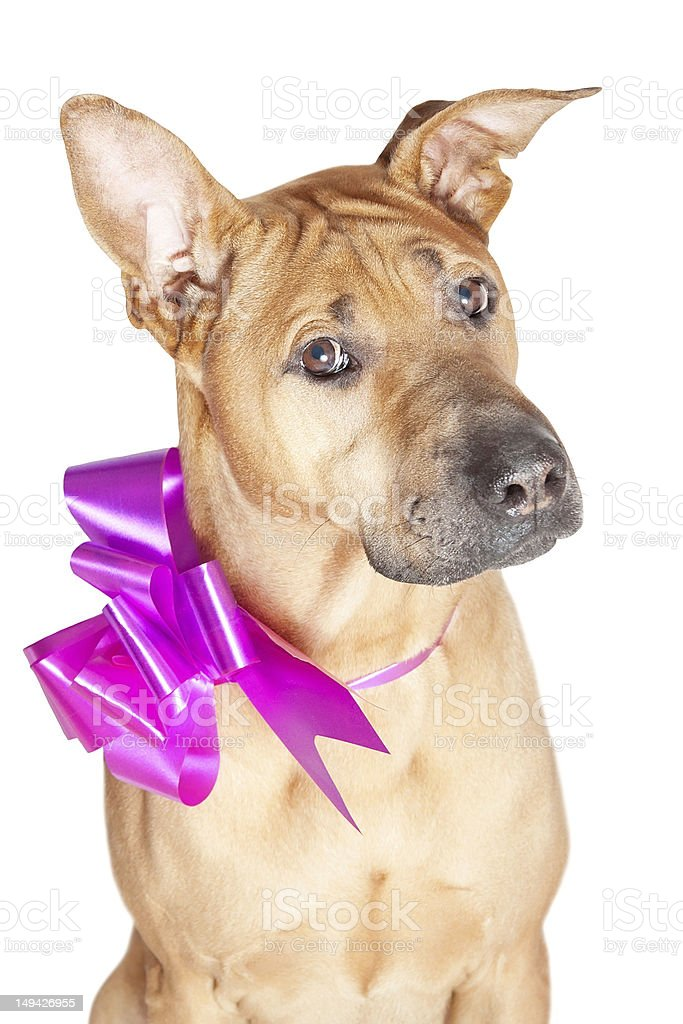 Dog with purple bow royalty-free stock photo