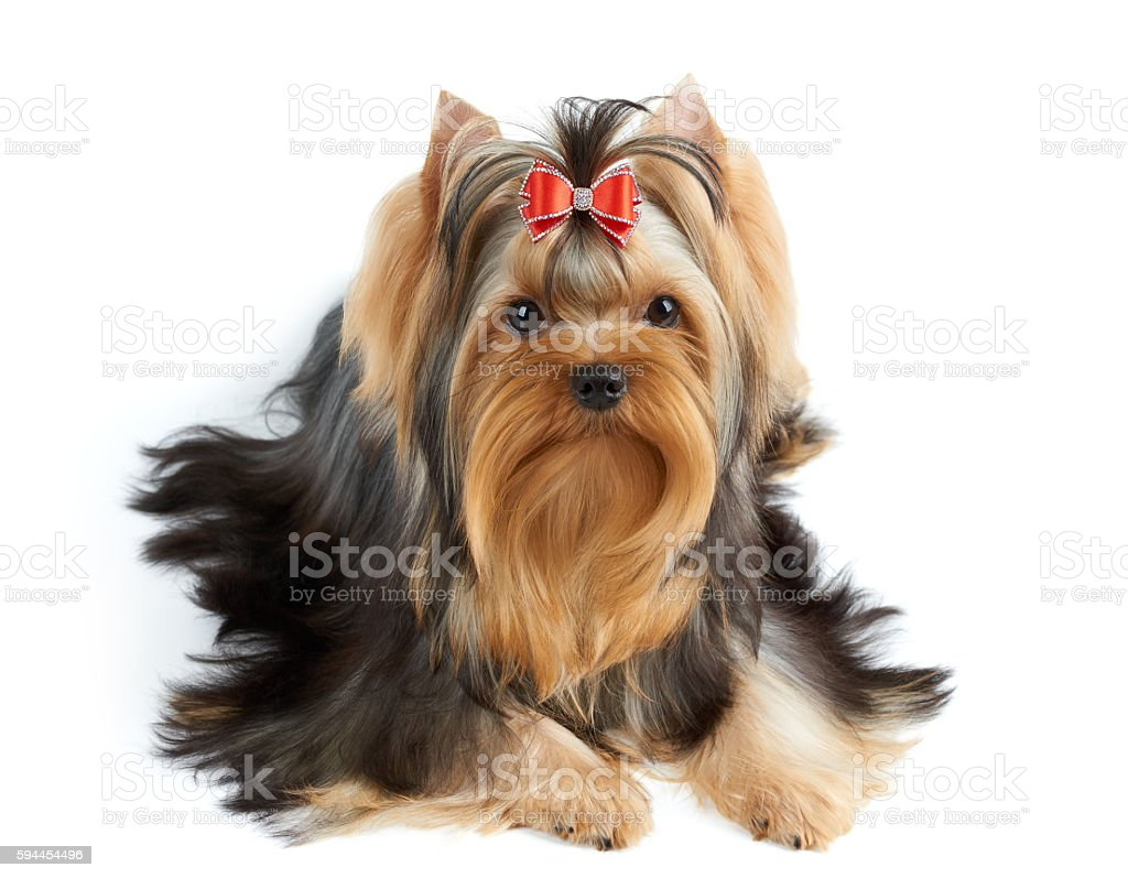 Dog with red bow stock photo