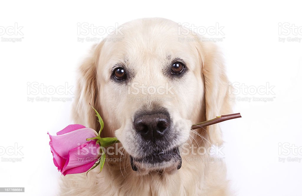 Dog with rose stock photo