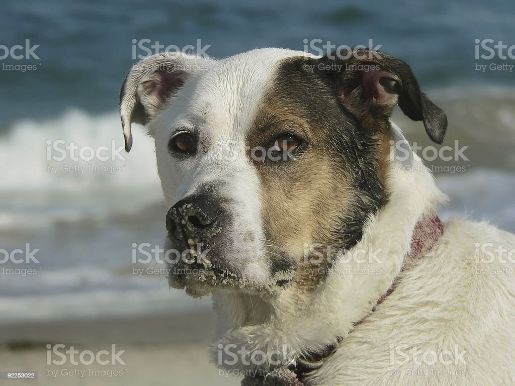Dog with sandy nose at the beach stock photo