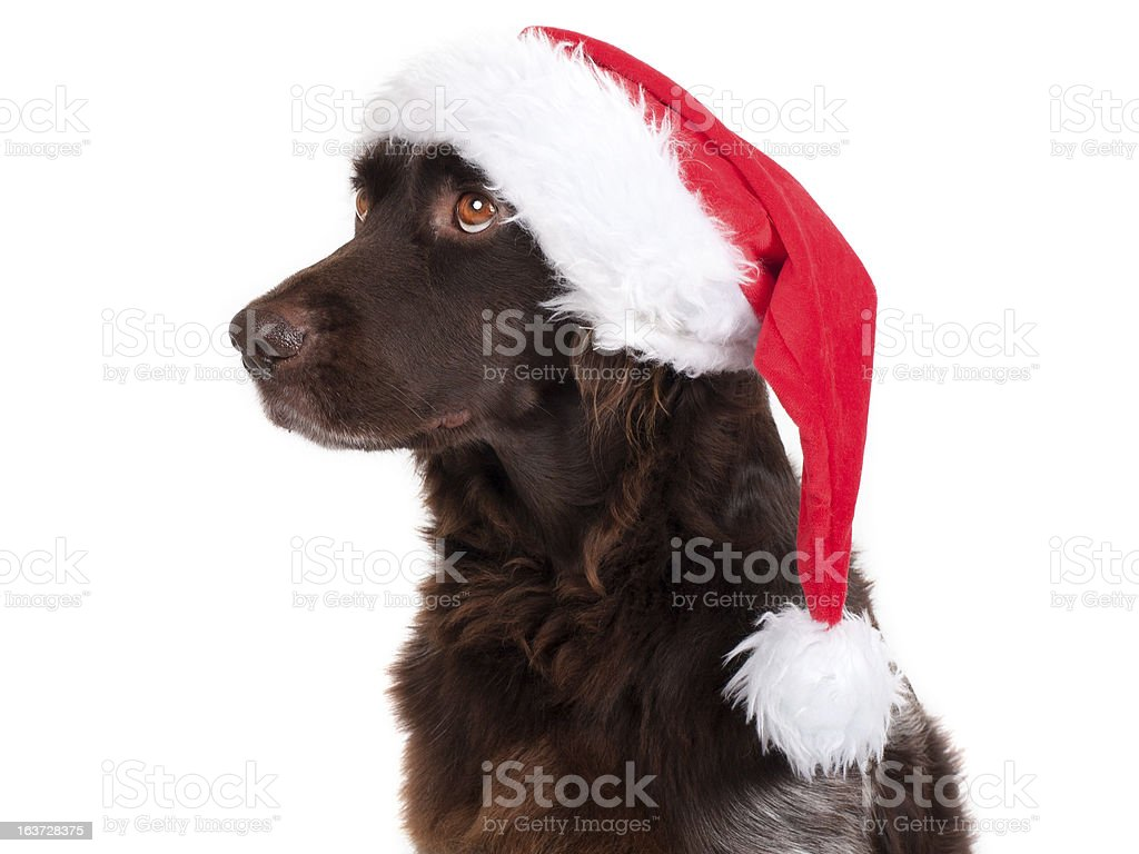Dog with Santa Hat stock photo