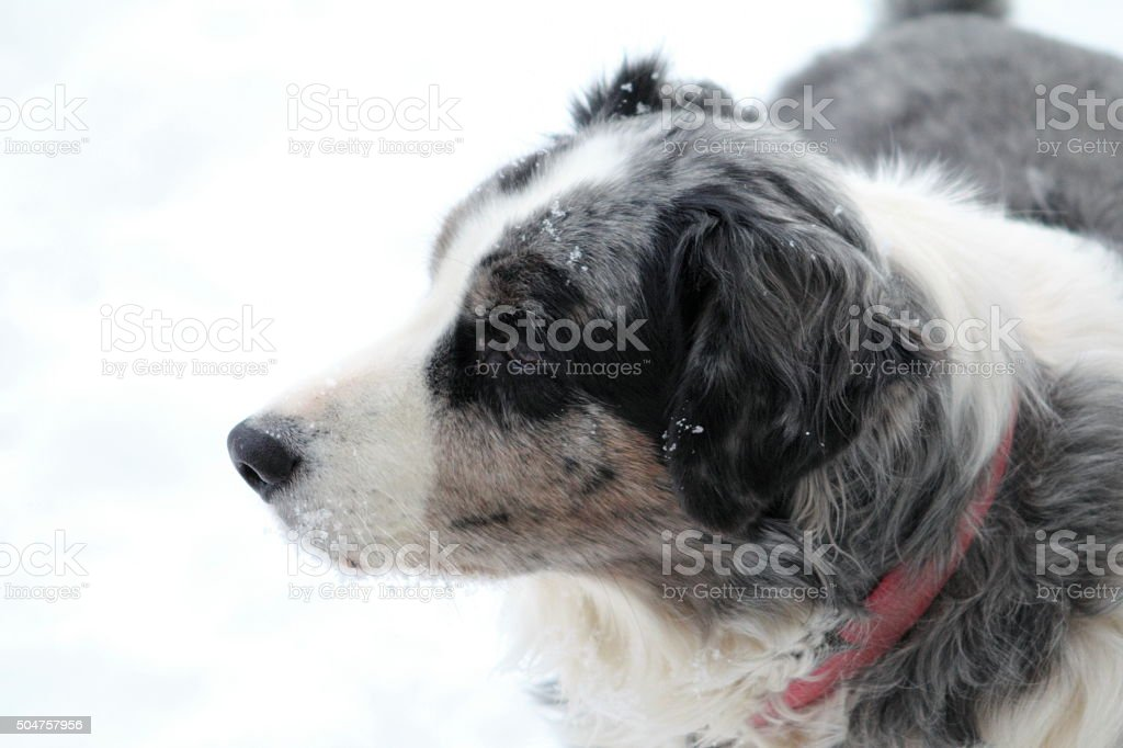 Dog with snow on him stock photo