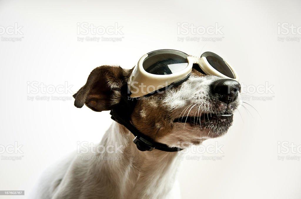 Dog with Sunglasses stock photo