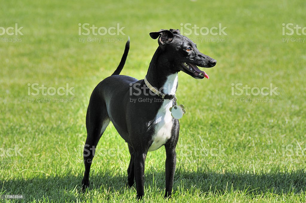 Dog With Tags stock photo