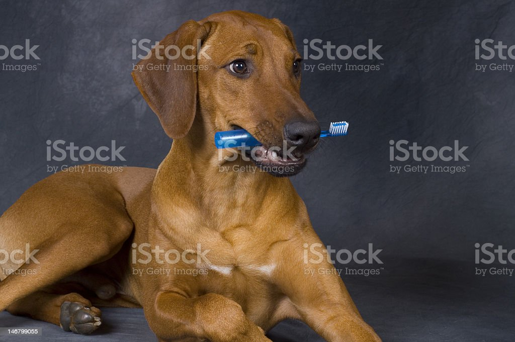dog with toothbrush stock photo