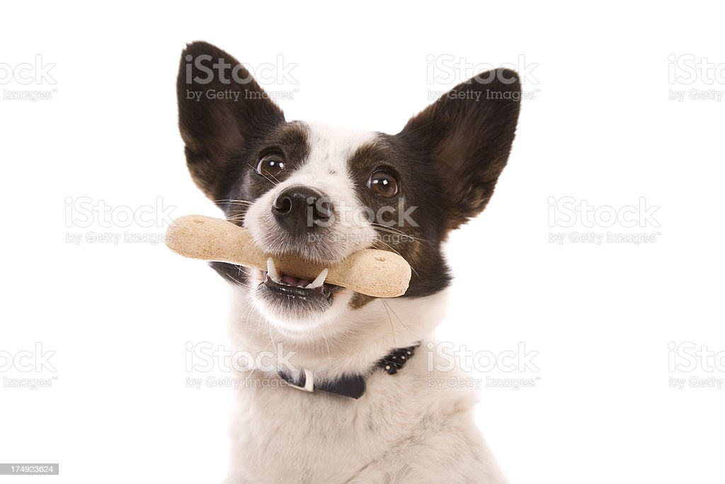 Dog With Treat stock photo