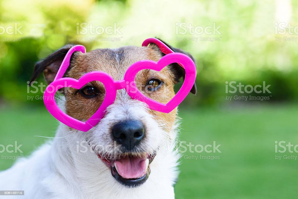 Dog with Valentines day look stock photo