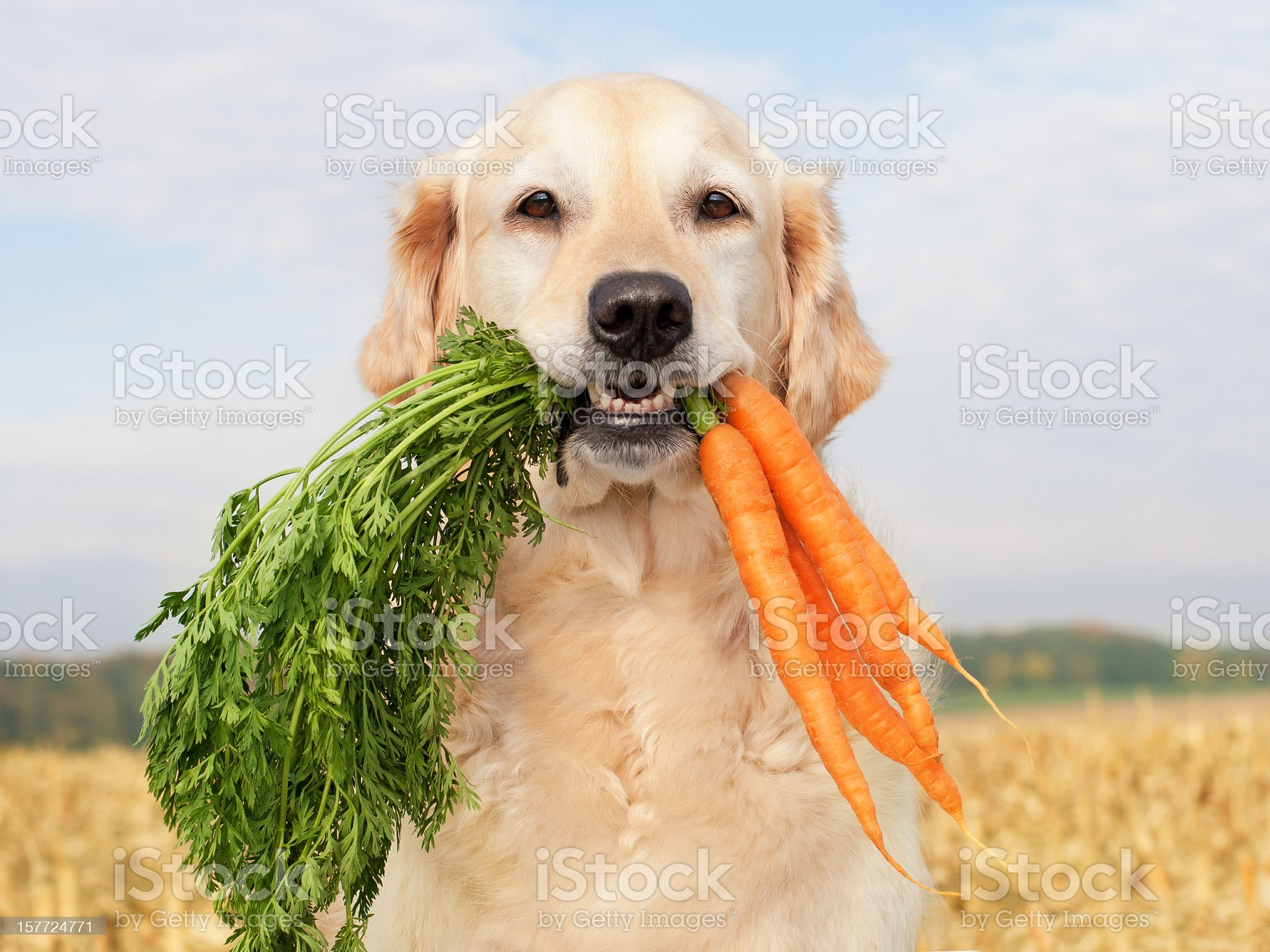 Dog with vegetables royalty-free stock photo