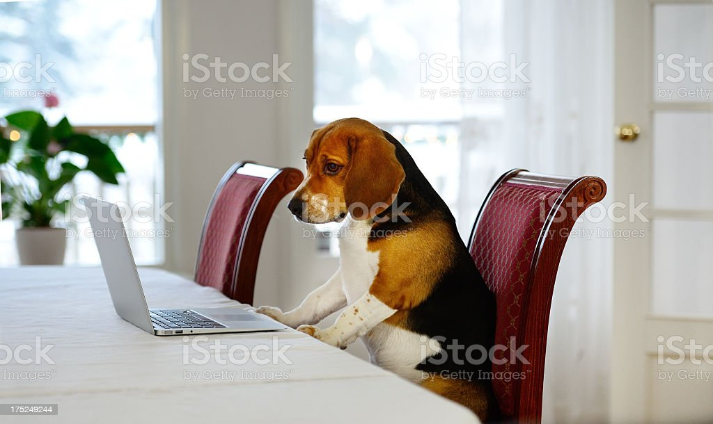 Dog working comfortably from home royalty-free stock photo