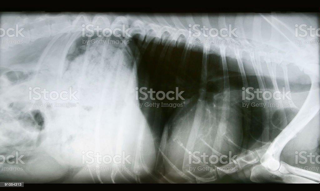Dog X-Ray Enlarged Heart royalty-free stock photo