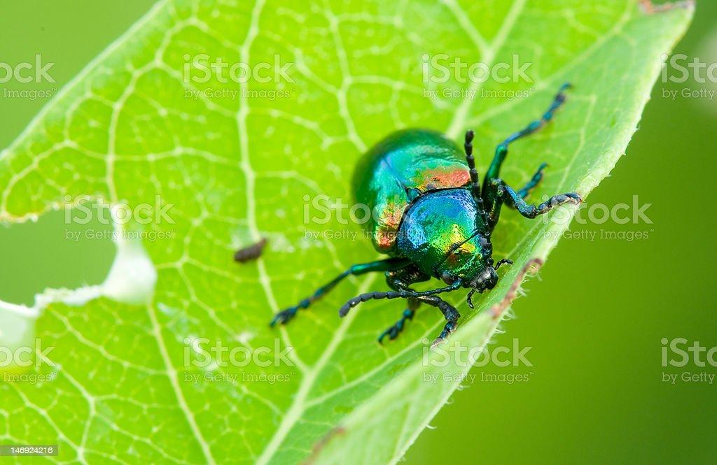 Dogbane beetle stock photo