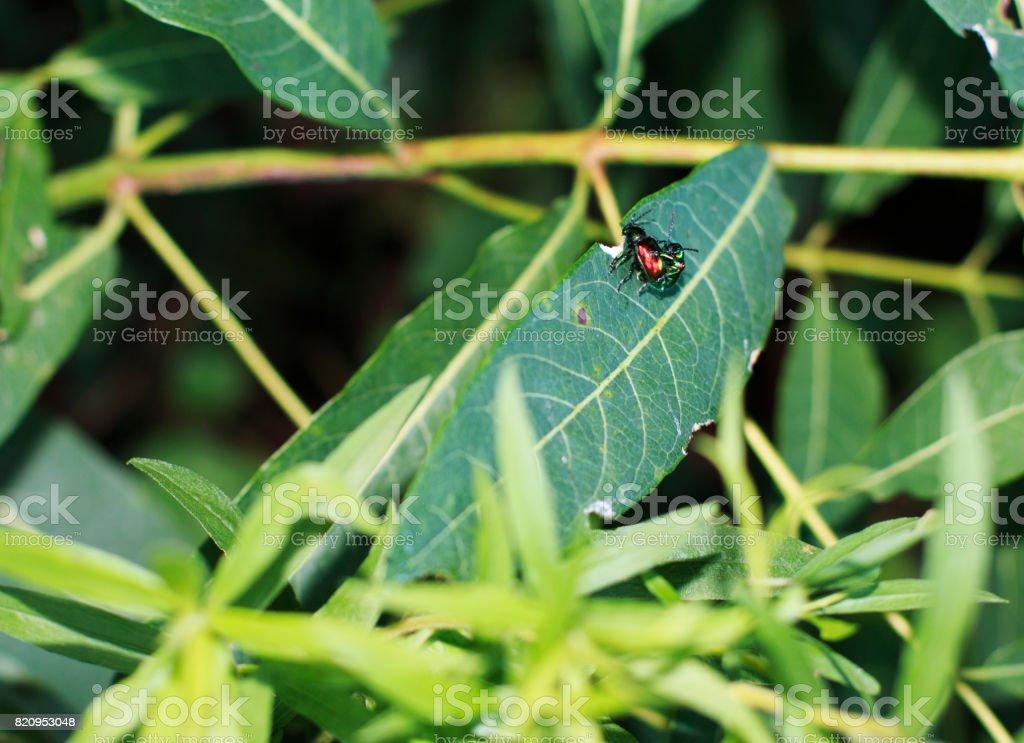 Dogbane Beetles stock photo
