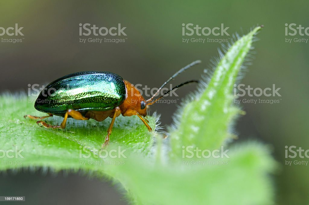 Dogbane Leaf beetle stock photo