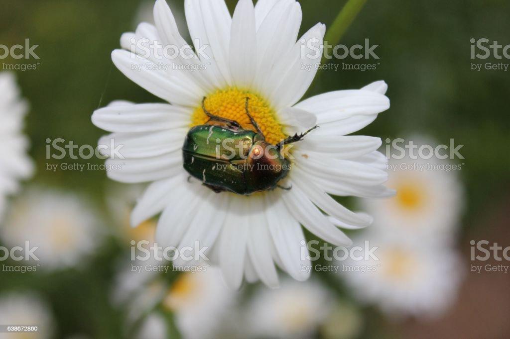 Dogbane leaf Beetle tasting daisy pollen stock photo