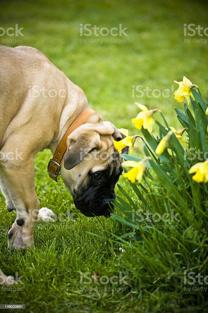 Doggie Springtime royalty-free stock photo
