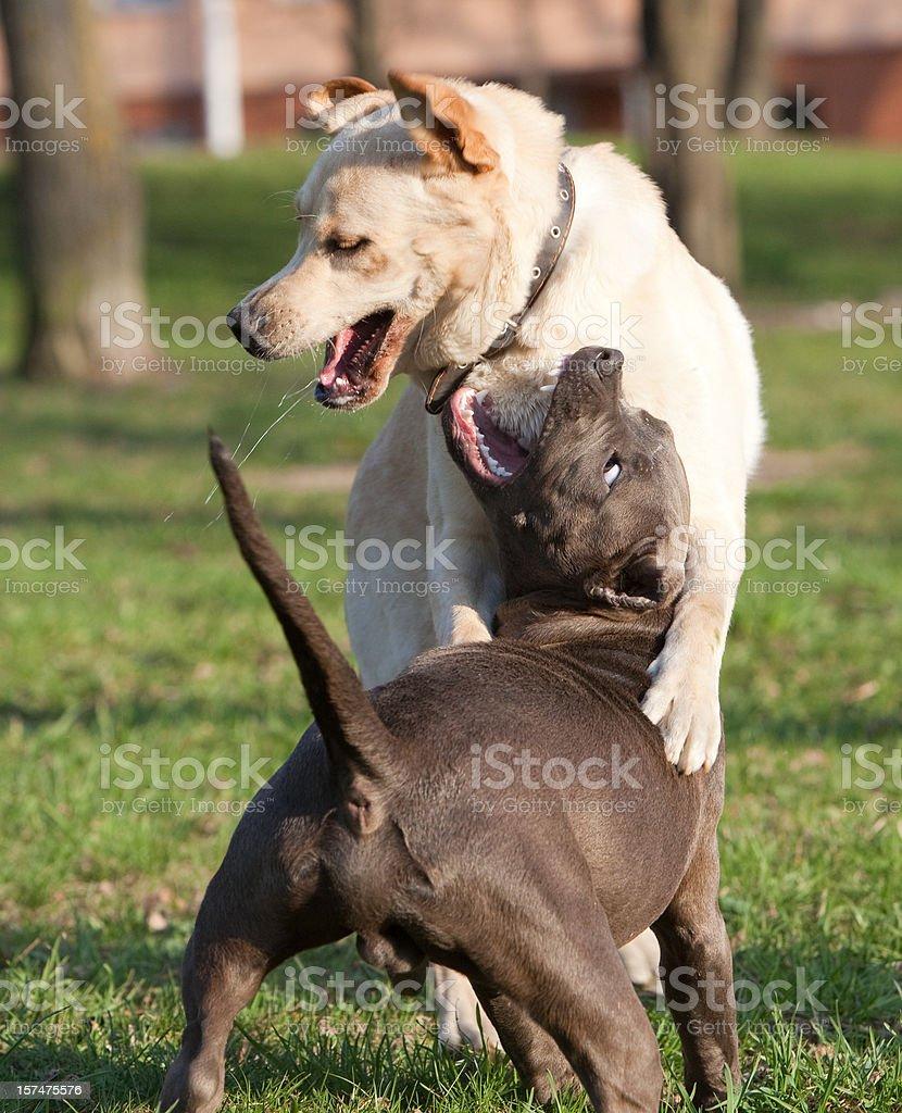 doggish scuffle: labrador retriever and pitbull terrier royalty-free stock photo