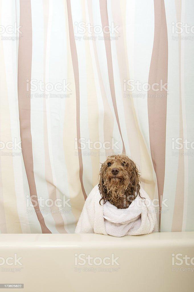 doggy bath royalty-free stock photo