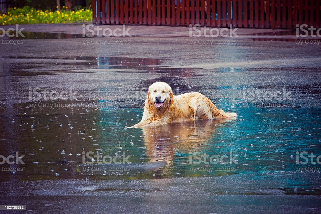 Doggy in a puddle royalty-free stock photo