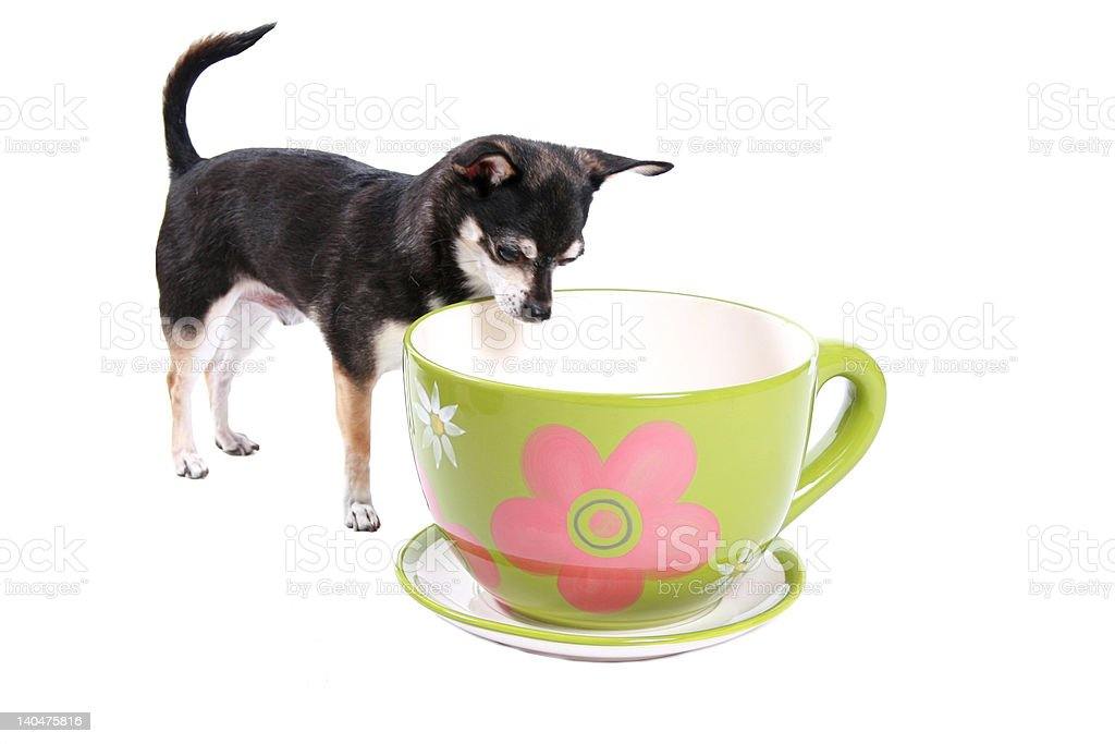 doggy looking into a teacup royalty-free stock photo