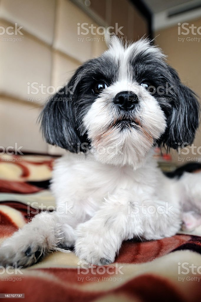 Doggy on Bed - XLarge royalty-free stock photo