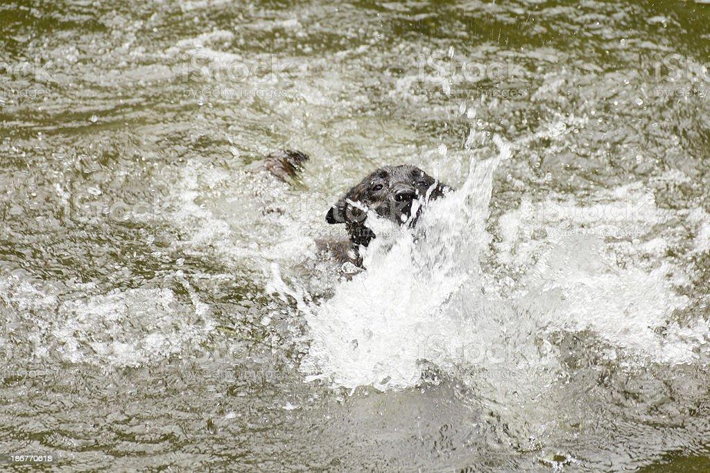Doggy paddle royalty-free stock photo