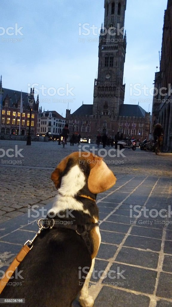 Doggy sightseeing - Listening to Bruges belltower music stock photo