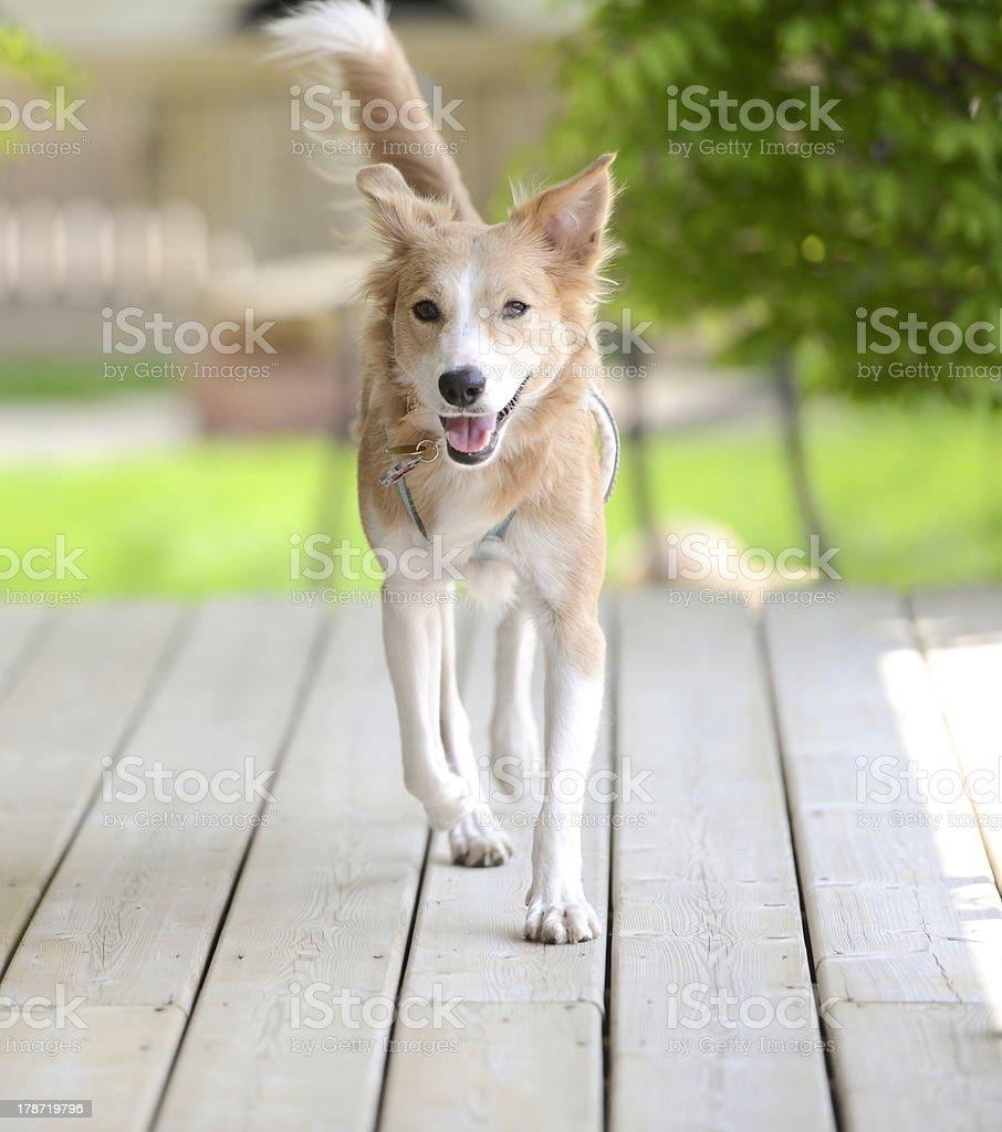 Doggy Stroll royalty-free stock photo