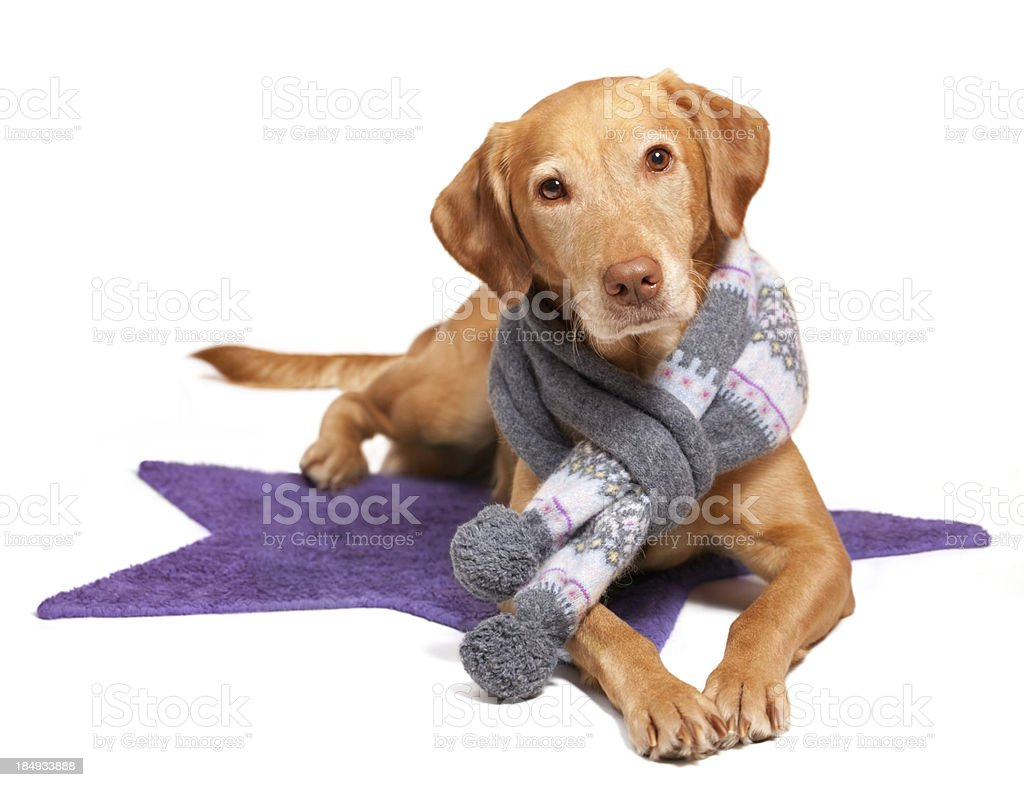 Doggy wearing scarf royalty-free stock photo